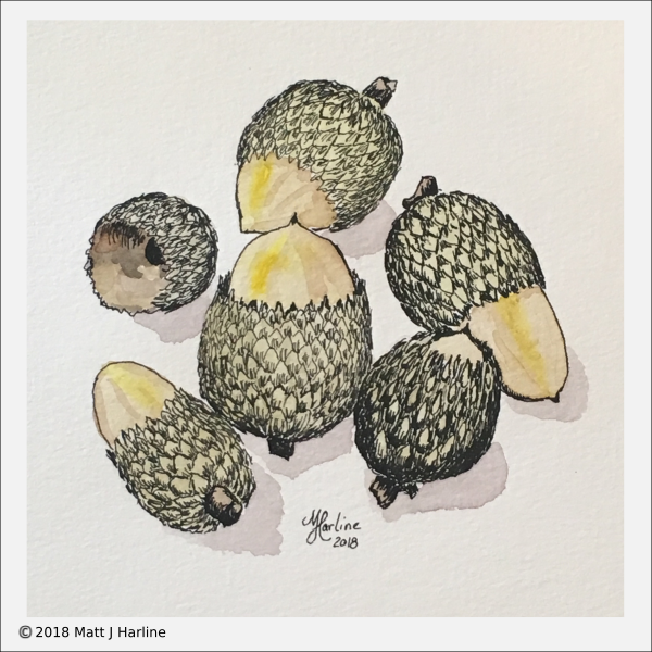 pen-and-ink-acorns
