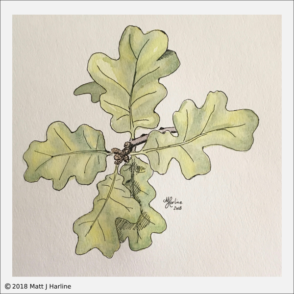 pen-ink-watercolor-oak-leaves